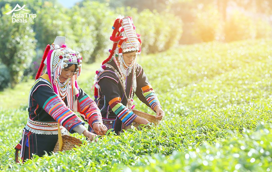 Akha women picking tea leaves on tea plantation in Chiang Rai Thailand