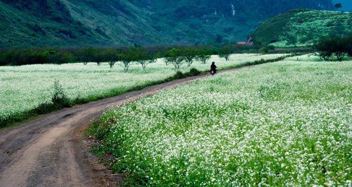 Moc Chau mustard flower season